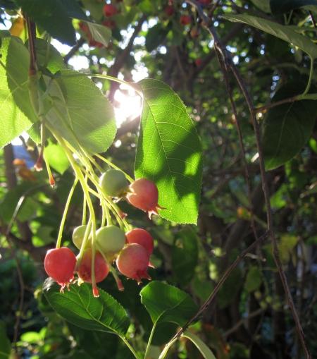 fruit of service berry tree
